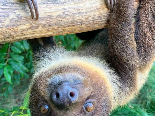 Photo of Barn Hill Preserve Mobile Zoo Sloth
